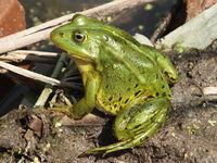 fteen frog