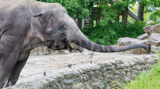 Elephant reaching for the fresh green bushes