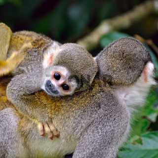 Baby Squirrel Monkey on the back of his mom in amazon rainforest
