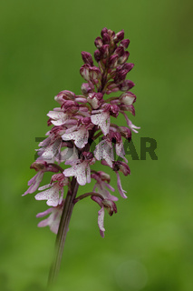 Purpur- Knabenkraut (Orchis purpurea)