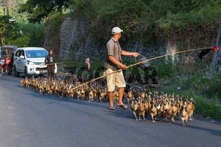Duck Herding in rural area of Bali