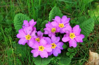 Primel lila, Primula, Primrose
