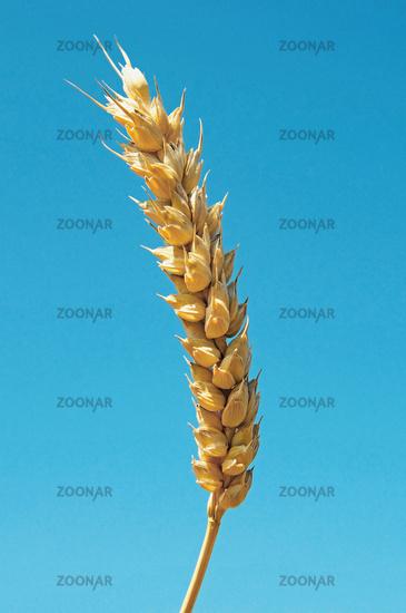 Weizen / Wheat