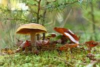 Pilz im herbstlichen Wald