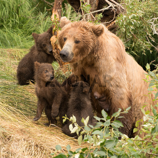 Four brown bear cubs sitting with mother