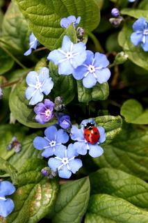 Frühlings-Nabelnüsschen mit Marienkäfer