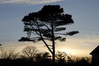 Silhouette eines Pinienbaumes