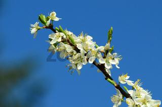 Blüte vom Schwarzdorn, Schlehdorn, Schlehe