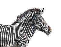Grevy's zebra close-up cutout
