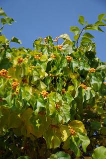 Celastrus orbiculatus, Baumwürger, Bittersweet