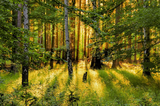 Wald mit Sonnenstrahlen - forest and sunrays 01