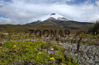 Cotopaxi volcano over the flowering plateau, Andean Highlands of Ecuador, South America