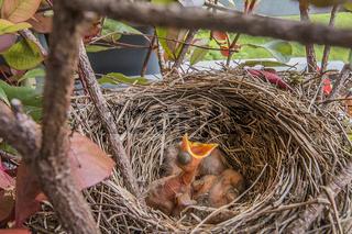 Amselkinder im Nest