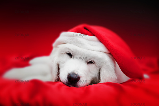 Cute white puppy dog in Chrstimas hat sleeping in red satin. Holiday theme
