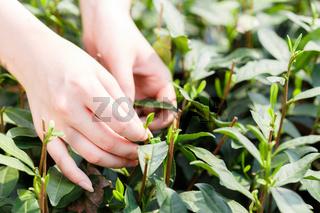 beautiful asian girl picking tea