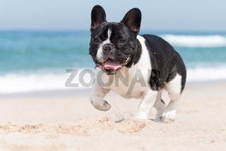 French bulldog on the beach