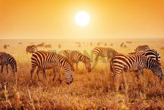 Zebras herd on savanna at sunset