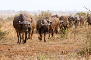 herd of buffaloes