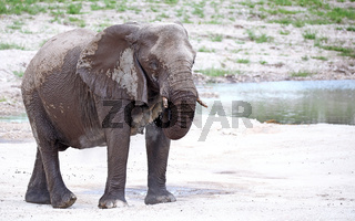 Elefant staubt sich ein, Etosha, Namibia; african elephant, Loxodonta africana