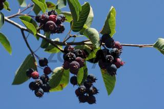 Amelanchier ovalis, Felsenbirne, Shad bush