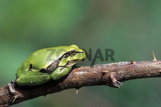 Europaeischer Laubfrosch ist der einzige mitteleuropaeische Vertreter einer weltweit vorkommenden Tierfamilie - (Laubfrosch) / European Tree Frog has been introduced to the UK and to Latvia - (Common Tree Fog) / Hyla arborea