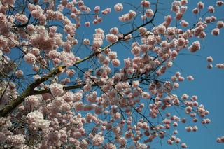 Prunus subhirtella Accolade, Zierkirsche