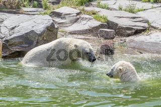Zwei Bären im Wasser