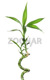 Bamboo isolated  white