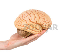 Hand holding model human brains isolated on white background
