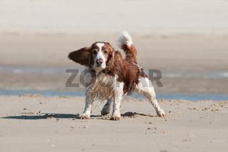 Mischling am Strand