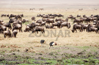 Crowned cranes and buffalo herd.
