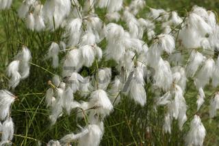 Eriophorum angustifolium, Schmalblättriges Wollgras, Cottongrass