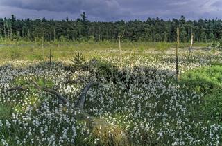 Wiese mit Schmalblaettrigem Wollgras im Grundlosen Moor am Grundlosen See / Meadow with Common Cottongrass in the Groundless Bog at the Groundless Lake / Eriophorum angustifolium