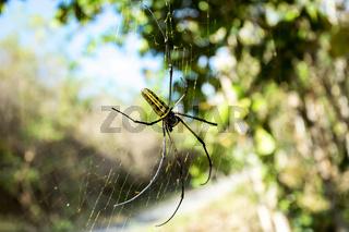 Nephila pilipes, big spider, Bali, Indonesia