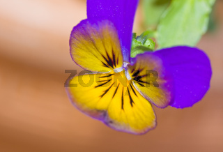Hornveilchen Viola cornuta