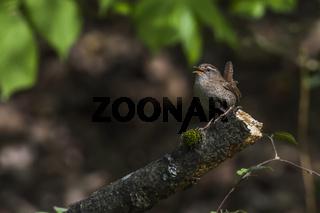 Zaunkönig (Troglodytes troglodytes)