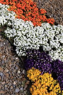 Ein Teppich aus verschieden farbigen Hornveilchen 'Viola cornuta'.
