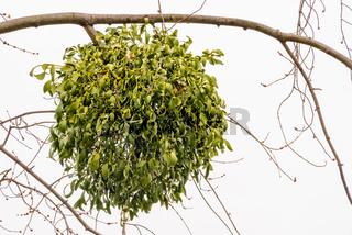 Viscum Album on the Tree