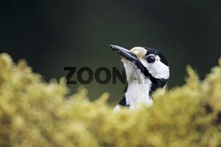 Buntspecht ist ein Hoehlenbrueter - (Foto Portraet vom Weibchen) / Great Spotted Woodpecker is usually resident year-round - (Photo adult female) / Dendrocopus major - (Picoides major)