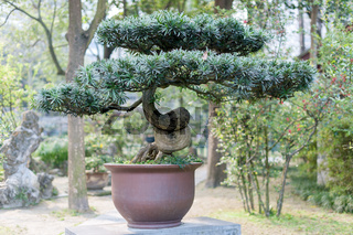 Bonsai in a Chengdu Park
