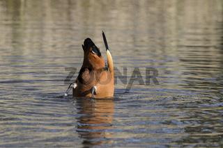 Rostgans (Tadorna ferruginea), gründelt nach Nahrung im Teich, B