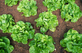 Kopfsalat, Lactuca sativa, Salat,