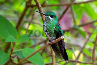 humming bird costa rica