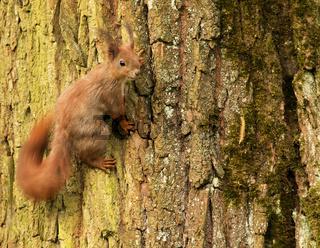 European squirrel on a tree trunk (Sciurus)