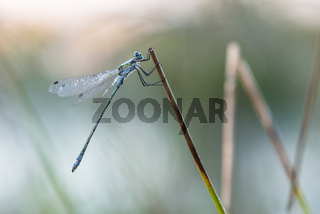 Libelle im Goldenstedter Hochmoor