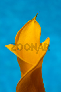 gelbe Kalla Blüte