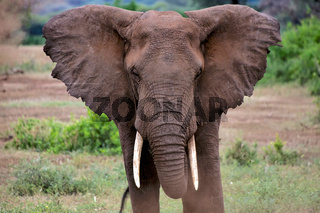 angry elephant at tarangire national park