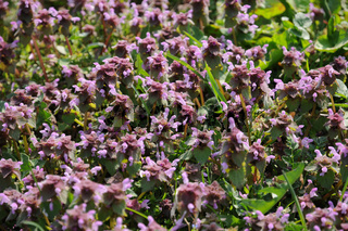 Lamium purpureum, Rote Taubnessel