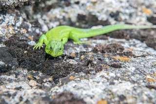 Green lizard on a rock