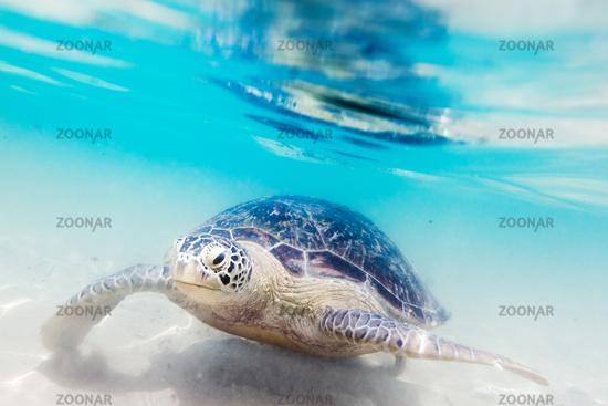 Turtle at Hikkaduwa beach